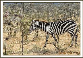 A zebra is seen with a loose snare