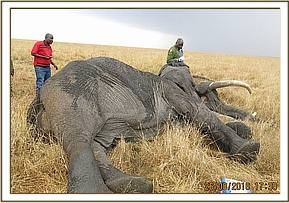 The vet team dart the elephant for treatment