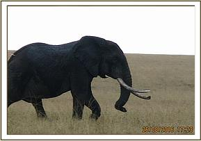 An elephant is seen with an arrow lodged in the side