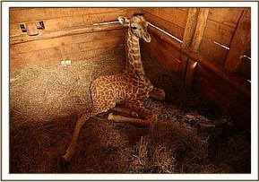 The giraffe the next day after arrival