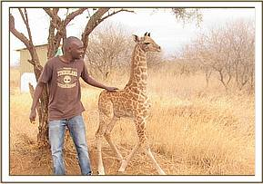 The Giraffe being cared for