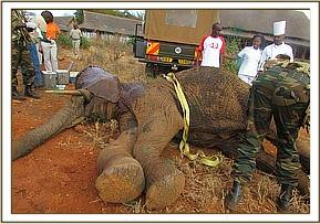 After sedating the Elephant