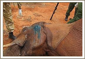 After treating the elephants head