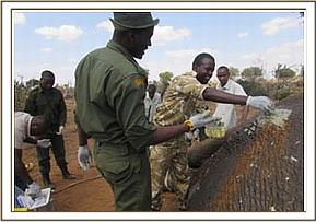 Treating the elephants wound