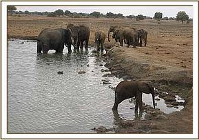 The lone calf with other wild elephants nearby