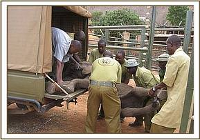Offloading the calf at the Voi Stockades