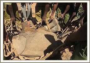 The captured calf prepared for transport to the airstrip