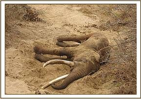 The elephant bull lying on the dry bed of the Voi River