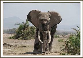Elephant with arrow wound on the leg after treatment