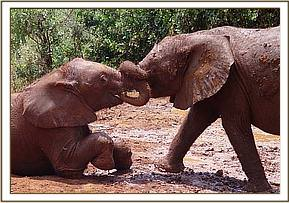 Buchuma & Rapsu tussling at mudbath