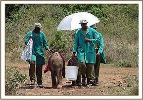 Narripi and Makena walking with their keepers