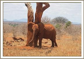 Kenia scratching against a tree