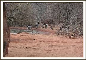 Wild dogs near the stockades