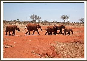 Kimana leading the others to the waterhole