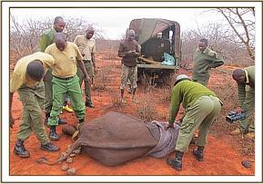 The orphan elephant is caught