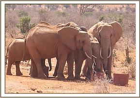 Wild group drinking from the orphans barrells