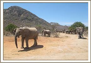 Ex orphans and wild elephants come to mudbath