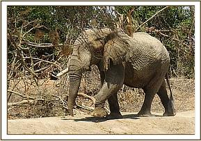One tusked wild elephant