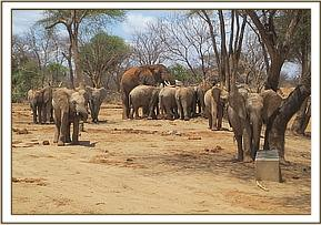 Wild elephant drinks with the orphans