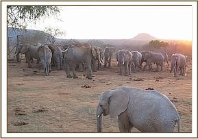 Wild elephants among whom was Ithumbah
