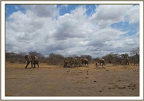 Wild elephants waiting for water
