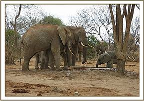 Ololoo drinks with wild eles