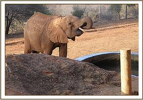 Layoni having a drink at the water trough