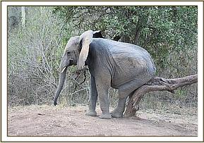 Murera scratching her bottom on a small tree