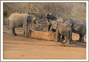Wild elephants taking water at the water trough