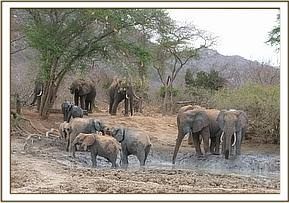 Orphans joined by wild elephants