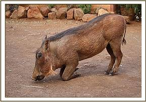 The warthogs at the Nursery