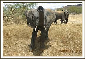 Quanza sniffing for wild elephants