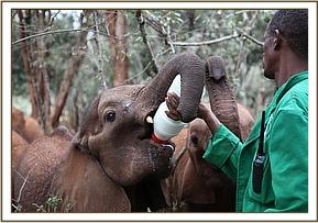 Kasigau having milk with the others