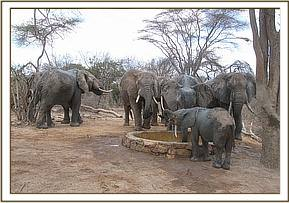 Ololoo drinks with wild elephants
