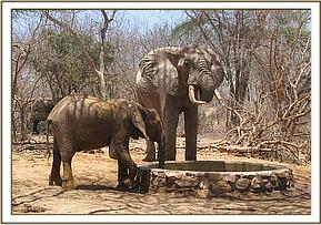 Selengai drinks with a wild elephant