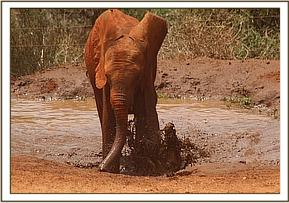 Ngilai splashing at mudbath