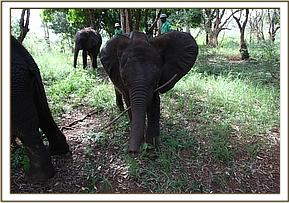 Kwale chewing on a stick
