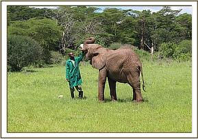 Murera being fed by her keeper