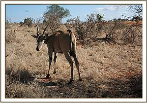 An eland with a snare on its neck