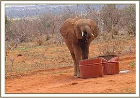 Shimba having a drink of water