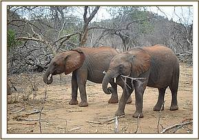 Wanjala and Karisa chewing on branches