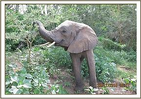 Murera picking some seed pods from Acacia