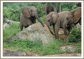 Sokotei and Boromoko scratching their trunks