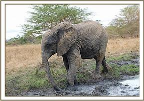 Murera about to enter the mudwallow