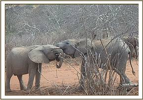 Lemoyian playing with Bongo