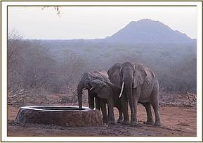 One tusked elephant with her family