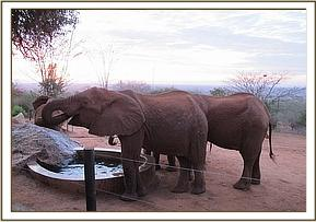 Wild elephants drinking at the stockade