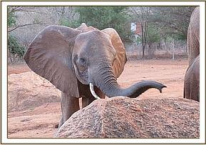 Wild elephant at the stockade