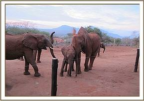 Wild eles at the stockade