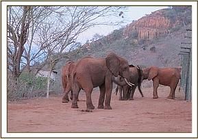 Ndara with wild elephants